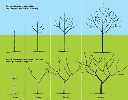 Обрезка деревьев - как правильно обрезать деревья ранней весной.
