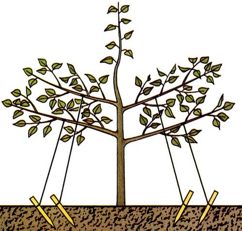 Веретенообразное карликовое дерево