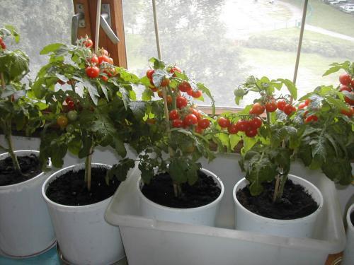 Выращивание детерминантных помидор - формирование и 2