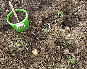 Выращивание картофеля под сеном и соломой 752