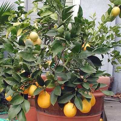 Хурма из косточки – увлекательное выращивание