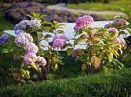 Садовая гортензия – превосходное украшение сада