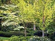 Выгода невысоких деревьев для участка