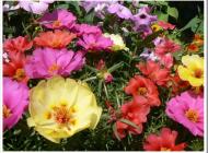 Гелихризум – маленькое лето посреди зимы