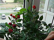 Комнатные розы – как следить за растением зимой?