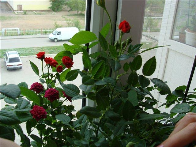 Розы для балкона купить. - дизайнерские решения - каталог ст.