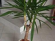 Юкка – одно из самых красивых комнатных растений