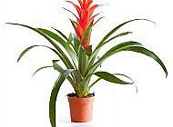 Гусмания – красочное растение с яркими цветками