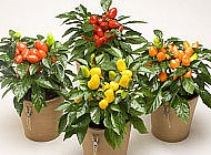 Выращивание декоративного перца