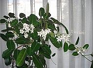 Стефанотис – уникальный кустарник-лиана