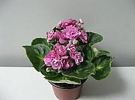Фиалка – одно из самых популярных домашних растений