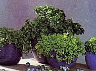 Опрятное растение для вашего дома и сада