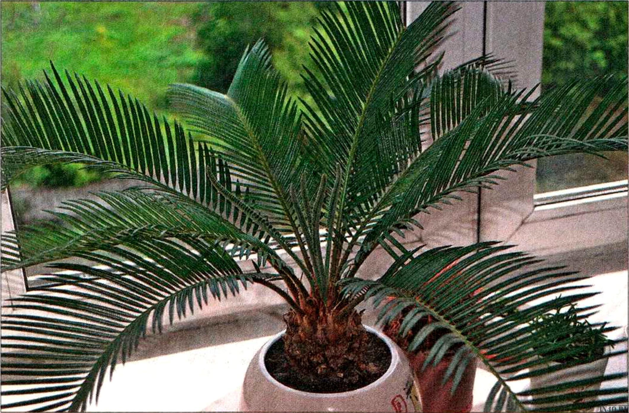 Домашние цветы пальмы их виды названия фото