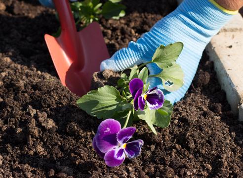 Виола цветы выращивание из семян осенний посев 68